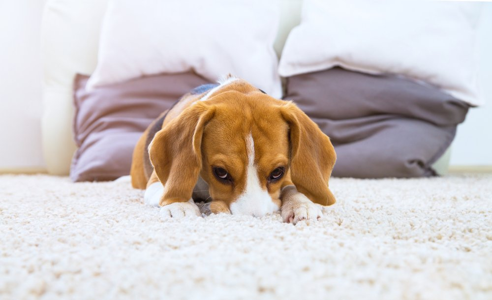 cute puppy dog on carpet at home