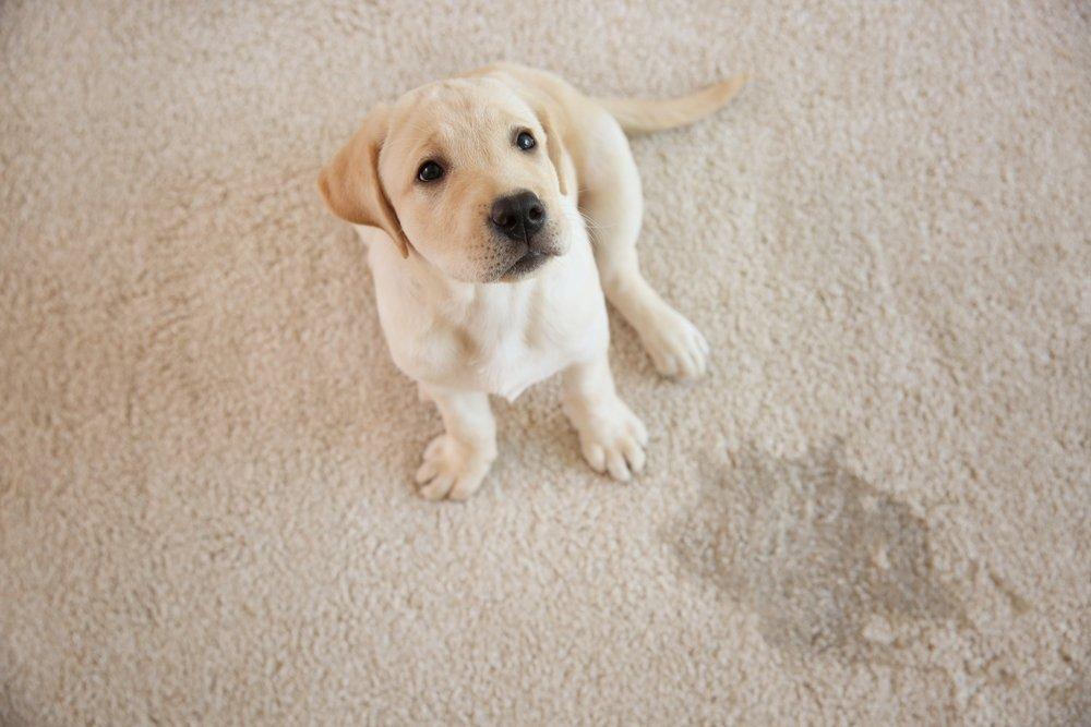 dog soils the carpet